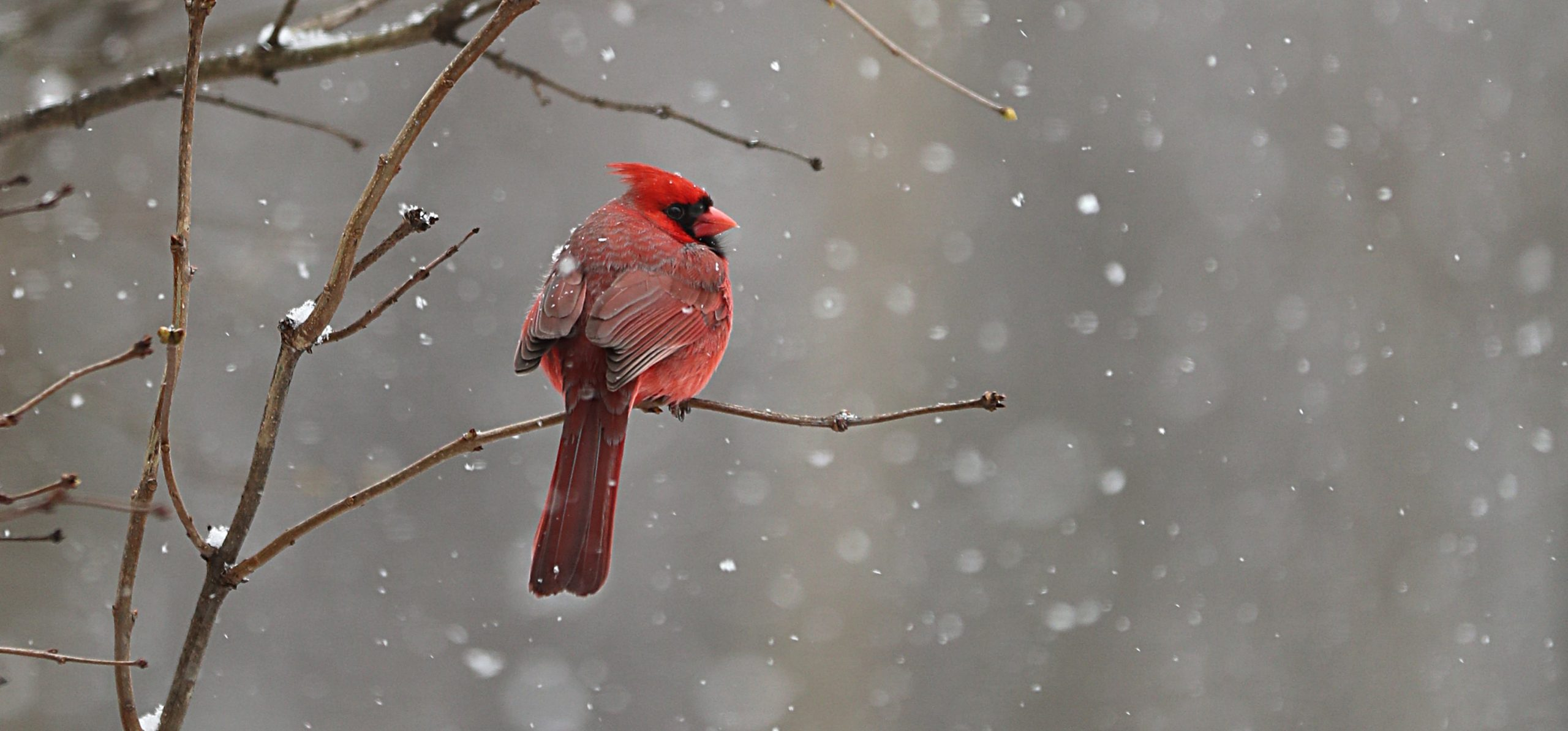 Cardinal Sugarbush